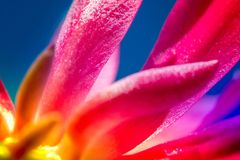 Macro shot of a pink cactus blossom. On a clear blue sky background on a sunny summer day Royalty Free Stock Images