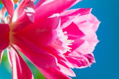 Macro shot of a pink cactus blossom. On a clear blue sky background on a sunny summer day Royalty Free Stock Photo