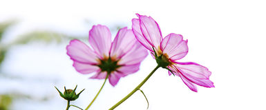 Macro Shot of pink Cosmos flower. Stock Photos