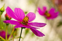 Macro Shot of pink Cosmos flower. Royalty Free Stock Images