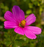 Macro Shot of pink Cosmos flower. Stock Photography