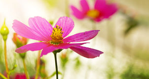 Macro Shot of pink Cosmos flower. Stock Image