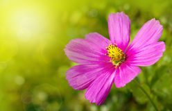 Macro Shot of pink Cosmos flower. Royalty Free Stock Photos