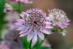 Macro of a pink flower of astrantia major showing many details like pistils and pollen stock photo