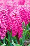 Macro shot of pink hyacinth Stock Image