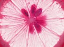Macro shot of pink lemon royalty free stock images