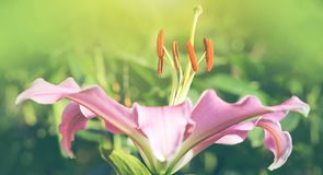 Macro shot on pink lily flower in summer day. Macro shot on pink lily flowers. Pink lily flowers royalty free stock photos
