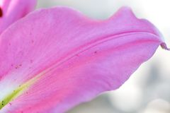 Macro shot on pink lily petal in summer day. Macro shot on pink lily petal. Pink lily flowers royalty free stock photography