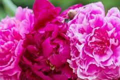 Macro shot of pink peony flowers Stock Photos