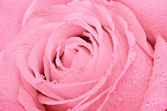 Macro shot of pink rose Stock Image