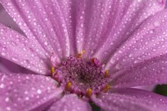 Pink Spring flower and drop. Macro shot of pink Spring flower with water drop Royalty Free Stock Images