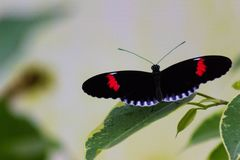 Macro Shot of a Postman Butterfly stock photography