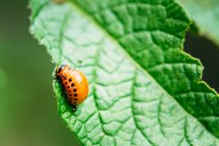 Macro shot of potato bug on leaf Royalty Free Stock Photography