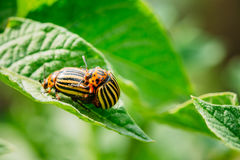 Macro Shot Of Potato Bug On Leaf. Two Colorado Striped Beetles - Leptinotarsa Decemlineata. This Beetle Is A Serious Pest Of Potatoes stock images