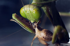 A macro shot of a Praying Mantis eating a cricket stock photography