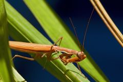 Macro shot of a Praying Mantis with forelegs and head royalty free stock photos