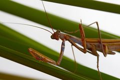 Macro shot of a Praying Mantis with forelegs and head stock photos