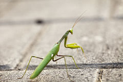 Urban Praying Mantis Stock Photos