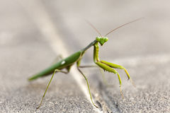 Urban Praying Mantis Royalty Free Stock Photos