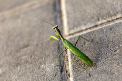 Urban Praying Mantis Stock Image