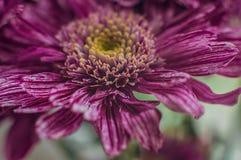 Macro shot of purple chrysantemum flower and its center stock photo