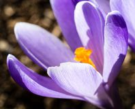 Purple crocus flower blooming in spring Royalty Free Stock Photography