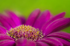 A macro shot of purple flower. With green, blurred background Stock Images