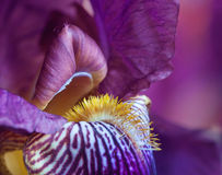 Macro shot of a purple iris. Royalty Free Stock Photography