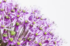 Close up of a purple sensation allium Stock Image