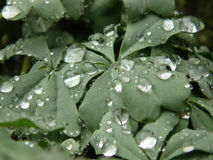 Macro shot of rain water droplets on silver shamrock leaves. Macro shot of rain water droplets on silver shamrock, Oxalis Adenophylla leaves stock photography