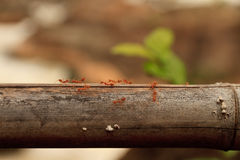 Macro shot of red ant in nature. Red ant is very small. free space for text. Royalty Free Stock Photography