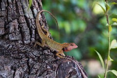 Macro shot of red chameleon. Red chameleon closeup shot in tropical forest Stock Images