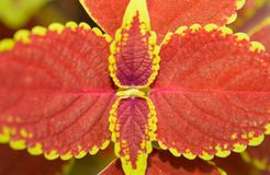 Close up of red coleus leaves Royalty Free Stock Photos