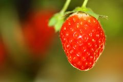 A Juicy Strawberry with a blurry background. A macro shot of a red juicy Strawberry with a blurry background Stock Image