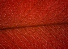 Macro shot of red leaf Royalty Free Stock Image