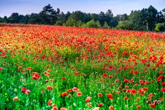Macro shot of a red poppy bloom in a colorful, abstract and vibrant blossom field, a meadow full of blooming summer flowers Royalty Free Stock Image