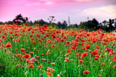 Macro shot of a red poppy bloom in a colorful, abstract and vibrant blossom field, a meadow full of blooming summer flowers Stock Photos