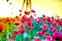 Macro shot of a red poppy bloom in a colorful, abstract and vibrant blossom field, a meadow full of blooming summer flowers Stock Photo
