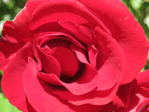 Macro Shot of a Red Rose Stock Photo
