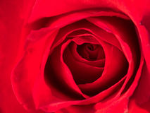 Macro shot of a red rose Stock Photography