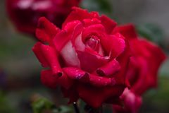 Macro shot of red rose in soft focus stock photos