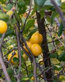Detail of a quince stock image