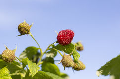 Macro shot of ripe raspberry against blue sky Stock Photo