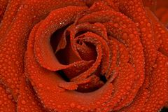 Macro shot of a rose Royalty Free Stock Photography
