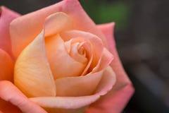 Macro shot of a rose Royalty Free Stock Photos