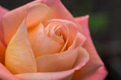 Macro shot of a rose Stock Images