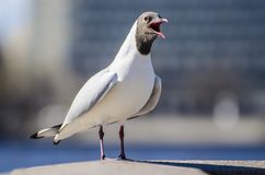 Macro shot of seagull standing on handrail royalty free stock photography