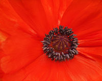 Macro shot of single red poppy. Stock Image