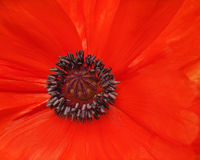 Macro shot of single red poppy. Stock Images