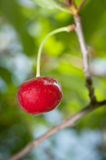 Macro Shot of a Single, Ripe Cherry on a Tree Stock Photography